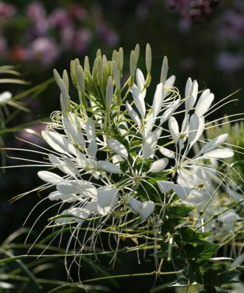 Eine leuchtend weiße Spinnenblume, welche aus dem Gartenland England zu uns kommt.