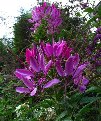 Cleome 'Violett Queen' ist eine farbintensive Spinnenblume mit tiefer und kräftiger Farbgebung.
