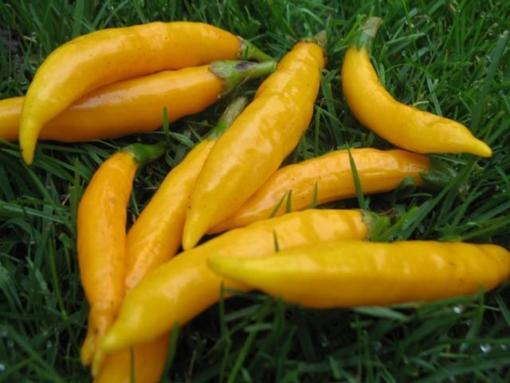Eine scharfe und leckere Chili: Capsicum 'Criolla Sella'.