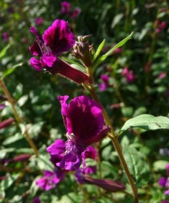 Cuphea viscoissima 2