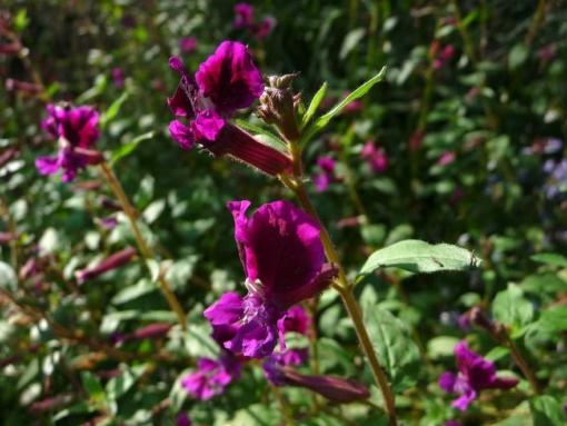 Das Köcherblümchen Cuphea viscosissima ist eine einjährige Pflanze zur Aussaat im Garten.