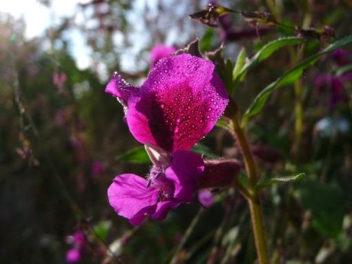 Das Köcherblümchen Cuphea viscosissima kann gut mit Stauden und anderen Pflanzen im Garten kombiniert werden.