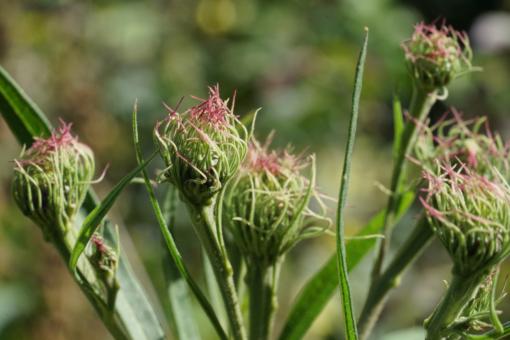 Die Knospen von Vernonia arkansana CW2016236 haben oft rötliche Spitzen.