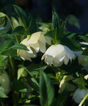 Helleborus x orientalis 'Weiß - Gefüllt' ist ein guter englischer Strain mit nur leichter Variabilität.
