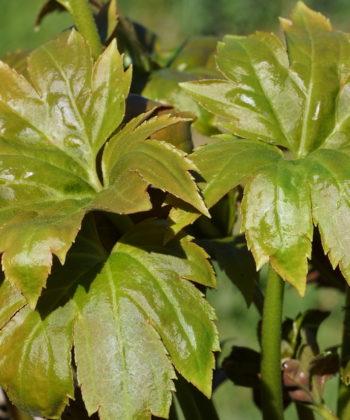 Blüte von Mukdenia rossii 'Karasuba'.