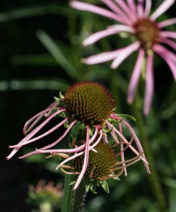 Echinacea pallida CW2016230 kurz vor der Blüte.