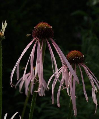 Echinacea pallida CW2016230 ist eine edle Schönheit aus den Ozarks.