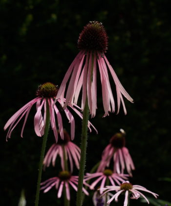 Echinacea pallida CW2016230 sollte sehr trocken und sonnig verwendet werden.