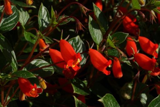 Seemania nematanthodes 'Evita' und ihre leuchtstarken Blüten.