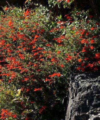 Epilobium canum var. latifolium CWAH2017055 am Naturstandort.