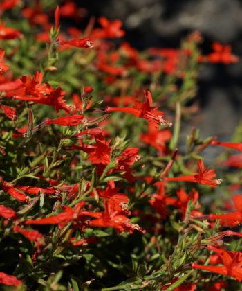 Epilobium canum var. latifolium CWAH2017055 stammt aus dem Norden des natürlichen Verbreitungsgebietes.