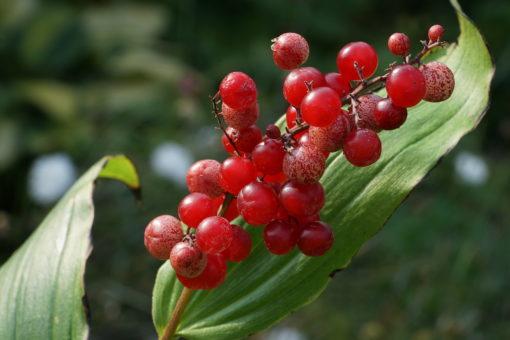 Maianthemum racemosum subsp. racemosum zeigt zur Reife der Beeren ein unglaublich schönes Farbenspiel.
