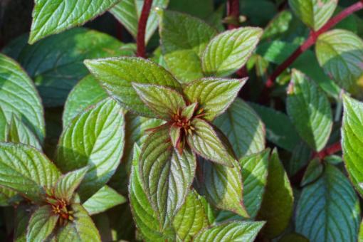 Das Laub von Seemannia x Little Red zeigt rötliche und kupferne Töne.