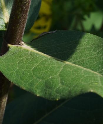 Das Laub von Silphium integrifolium bildet im Gegensatz zu Becherpflanze (Silphium perfoliatum) keine Becher aus.