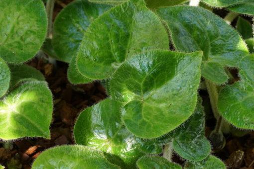 Das frische haarige Laub von Asarum pulchellum.