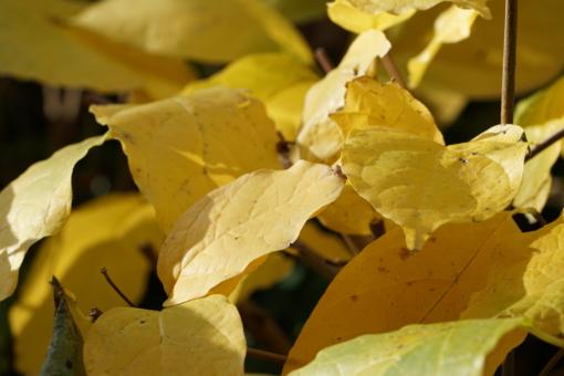 Das große tropisch anmutende Laub von Calycanthus chinensis zeigt eine leuchtend gelbe Herbstfärbung.