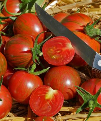 Dekorative Tomaten und lange Haltbarkeit zeichnen die Tomatensorte Purple Bumblebee aus.