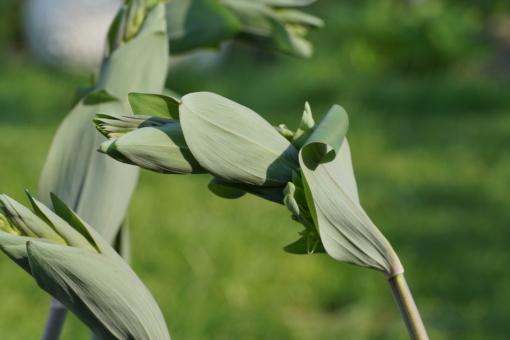 Zunächst sind die Blätter des Salomonssiegel Polygonatum multiflorum 'Ramosissima' noch dunkelgrün, später werden sie heller werden.