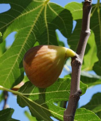Der Feigenbaum 'Brunswick' eignet sich besonders gut für die Kultur im Kübel.