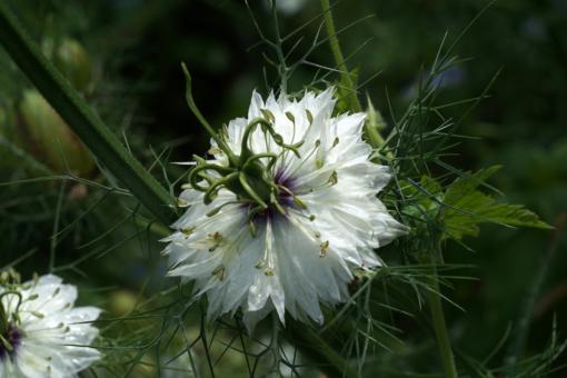 Der Nigella-Mix verlängert durch die leicht versetzte Blütezeit die Gesamtdauer dieser