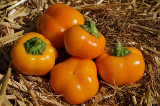 Die Paprika 'Doe Hill Golden Bell' trägt auch in milden Sommern viele Früchte und eine reiche Ernte ist fast sicher.