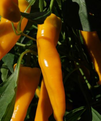 Sowohl für den Frischverzehr, als auch für leckere Paprikagerichte bestens geeignet: Paprika Doux Long d' Antibes.