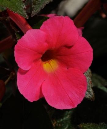 Der Schiefteller Achimenes Coral Sunset verbreitet tropisches Flair.