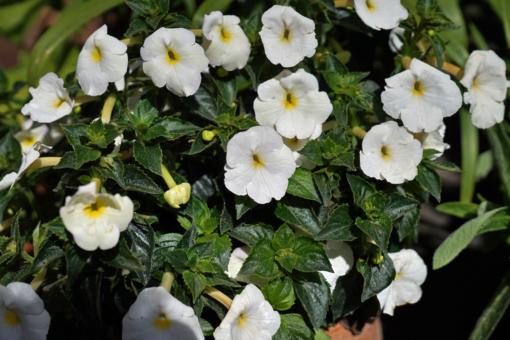 Der Schiefteller x Achimenantha Aries besitzt große Einzelblüten und wächst üppig.