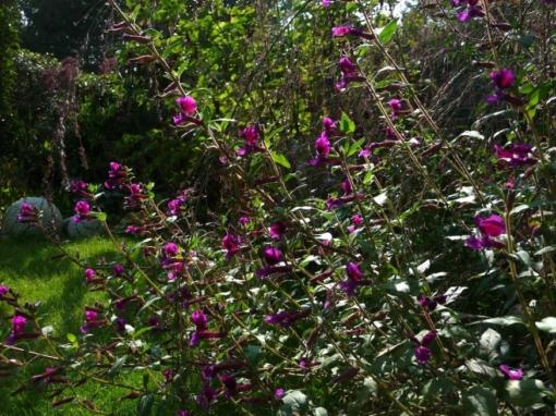 Das Köcherblümchen wächst aufrecht und kann leicht aus Samen gezogen werden. Cuphea viscosissima.