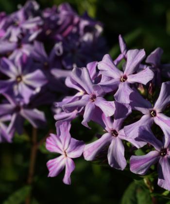 Deutlich abgesetzte Blütenröhren sind ein Kennzeichen von Phlox paniculata 'Katrin Eva Walter'.
