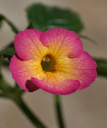 Achimenes 'Hugues Aufray' besitzt cremegelbe Blüten mit einem stark rot-violetten Blütenrand.