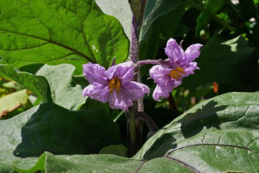 Man könnte denken das es sich um eine Zierpflanze handelt: die Blüten der Aubergine Posperosa.