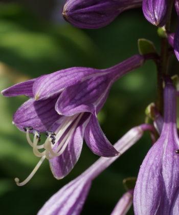 Die Blüten der Hosta 'Little Wonder' sind tief violett.