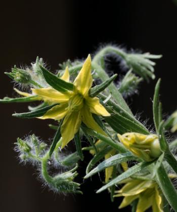 Die Blüten der Tomate Lime Green sind schon am grünlichen Schimmer zu erkennen.