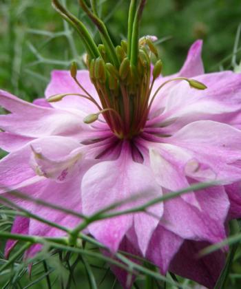 Schwarzkümmel Nigella damascena 'Mulberry Rose'