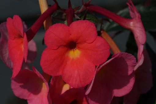 Exotik pur: Die Blüten von Achimenes Coral Sunset halten ewig