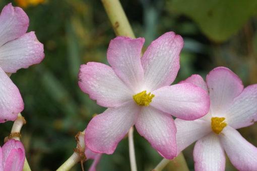 Die Blüten von Begonia emeiensis erscheinen sehr spät im Oktober.