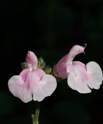 Die Blüten der Pflanze Salvia 'Blind Faith' sind leicht zweifarbig.