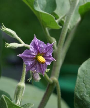 Die Blüten der Aubergine Thai Long Green können violett oder weiss sein.