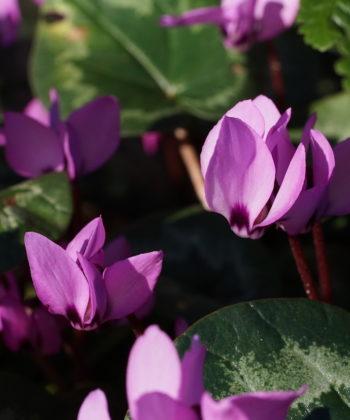 Die Blütenblätter von Cyclamen coum ssp. caucasicum sind deutlich länger.