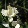 Die Blütenfarbe der Duftwicke 'Clotted Cream' ist wie bei der berühmten englischen Nachspeise: cremig-gelb.