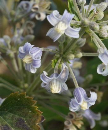 Die Clematis heracleifolia 'Blue Dwarf' ist eine Rarität.