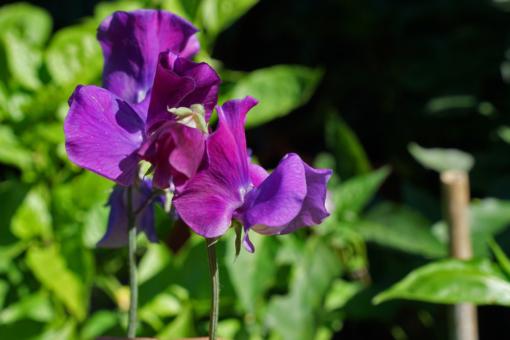 Die Duftwicke Lathyrus 'Blue Shift' gehört zu den großblütigen Wicken mit schönem Duft.