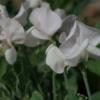 Die Duftwicke Cupid White zeigt ab und an rosa Reflexe.