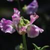 Die Duftwicke 'Lady Nicholson' hat sehr große Blüten und macht ihren Namen alle Ehre.