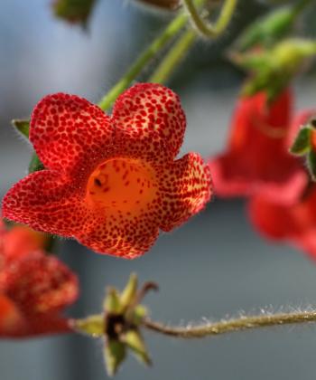 Die Blüten von Kohlerien (hier: Kohleria x Cybele) halten sehr lange.