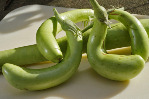 Die schlangenförmigen Früchte der Aubergine Thai Long Green sind lang und dünn.