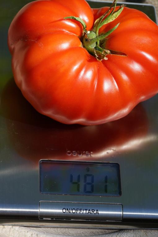 Die Früchte von Lutschij is Lutschi wiegen schonmal bis zu 500g.