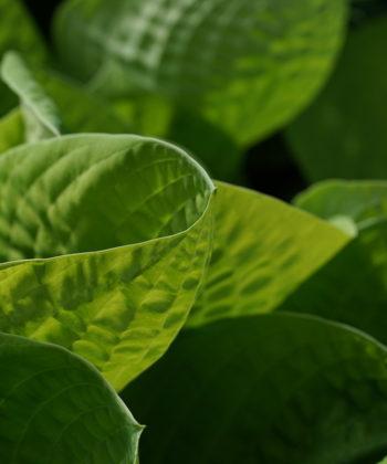 Die Funkie 'Maui Buttercups' entwickelt becherförmige Blätter.
