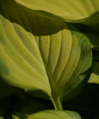 Die Hosta Emerald Tiara ist eine mittelgroße, zweifarbige Funkie.